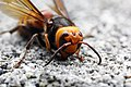 Dead body of Asian Giant Hornet.jpg