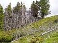 Dead trees on hillside - geograph.org.uk - 1363457.jpg