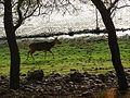 Deer DSCN2503.jpg