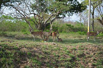 Deers in Bandipur.jpg