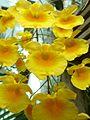 Dendrobium lindleyi - Flickr - treegrow (1).jpg