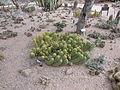 Desert Botanical Garden Phoenix Arizona 11.JPG