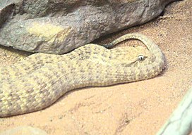Desert Death Adder 2.jpg