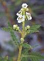 Desert sweet Chamaebatiaria millefolium.jpg