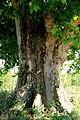Detall del tronc Plataner de Tornabous.jpg