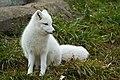 Detroit Zoo - Arctic Fox (8190020436).jpg