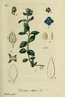 <i>Veronica alpina</i> Species of plant in the genus Veronica