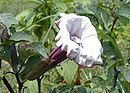 Devil's Trumpet, Horn of Plenty, Downy Thorn Apple (Datura metel).jpg