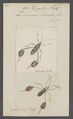 Diactor - Print - Iconographia Zoologica - Special Collections University of Amsterdam - UBAINV0274 040 05 0014.tif