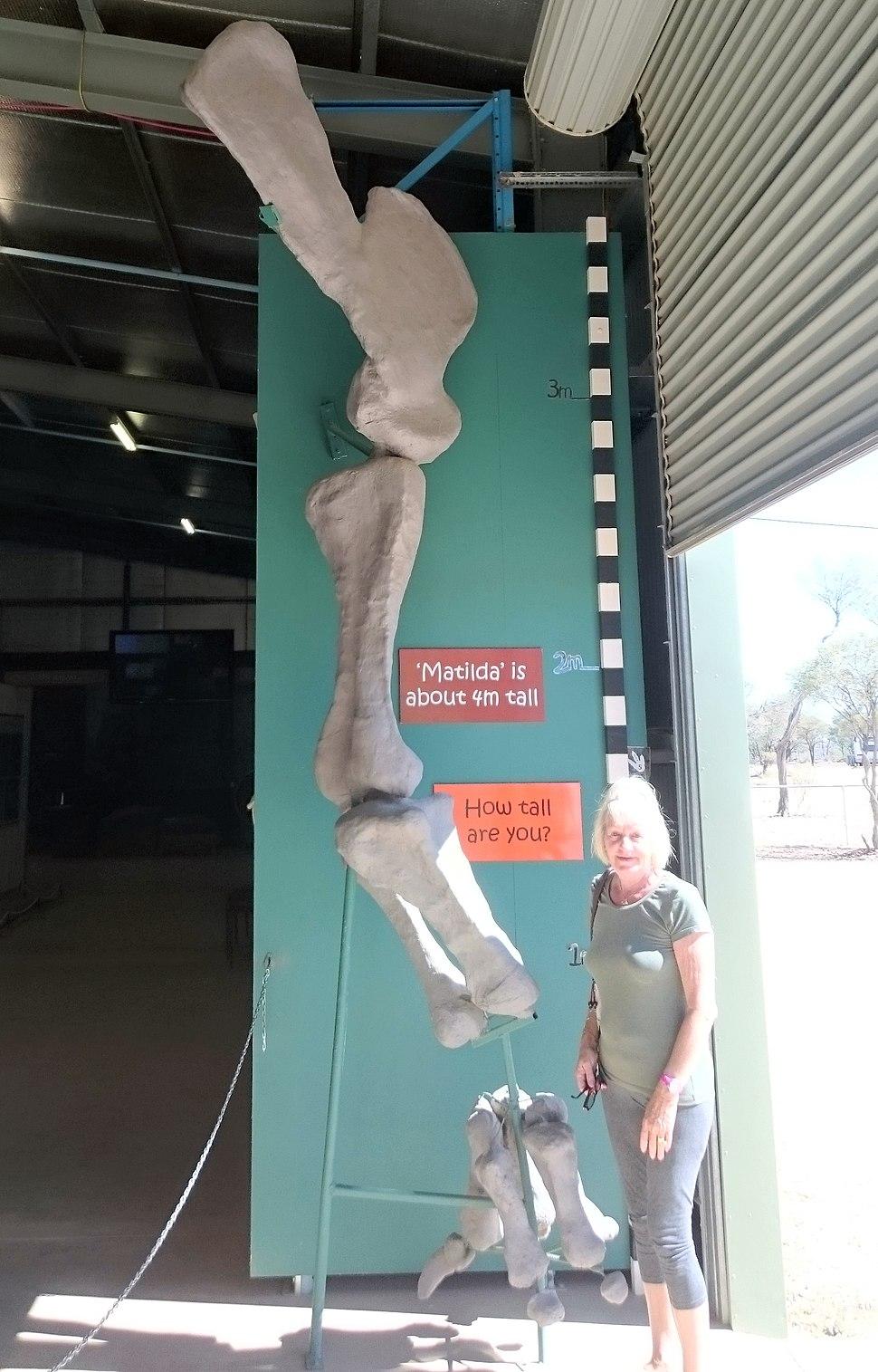 Diamantinasaurus leg bone