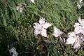 Dianthus-anatolicus-flowers.JPG