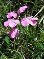 Dianthus alpinus sl3.jpg