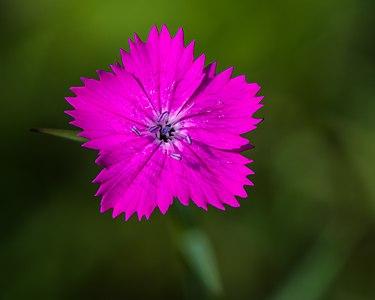 Carthusian Pink (Dianthus carthusianorum)
