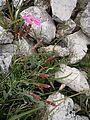 Dianthus sylvestris RHu 01.JPG