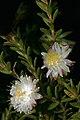 Diastella fraterna 1DS-II 3-5590-01.jpg