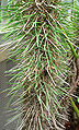 Didierea madagascariensis 2.jpg