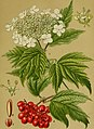 Die Giftpflanzen Deutschlands (1910) (20739729329).jpg