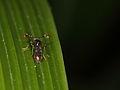 Diopsidae (Diptera) (6370786059).jpg