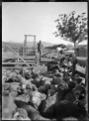 Dipping sheep at the Mendip Hills sheep run. ATLIB 287961.png