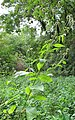 Dipsacus pilosus plant (04).jpg