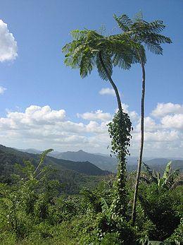 DirkvdM baracoa palmtrees.jpg