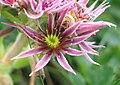 Dixi-Sempervivum montanum.jpg