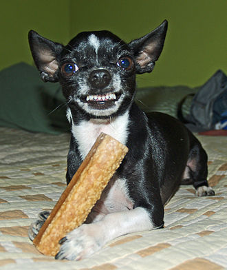 Animal communication - This Chihuahua is baring its teeth to signify an attack is imminent if the photographer comes closer to take his bone
