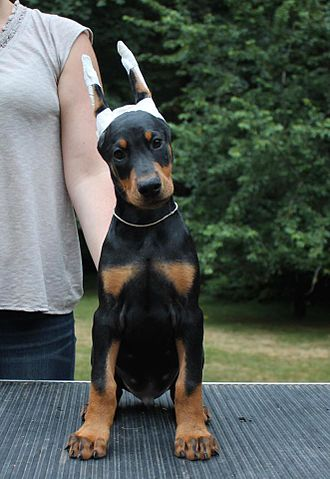 Cropping (animal) - A Doberman Pinscher puppy with its ears taped to train them into the desired shape and carriage after cropping