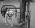 Dog scootering side 4661927038 3f6e8ef819 o.jpg