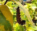 Doleschallia bisaltide philippensis (Autumn Leaf) larvae preparing to pupate on Graptophyllum pictum (Mindanao, Philippines).jpg