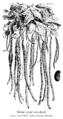 Dolique géant extra-hâtif Vilmorin-Andrieux 1904.png