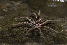 Dolomedes minor waiting.jpg