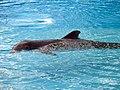 Dolphins (7981007782).jpg