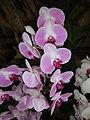 Doritaenopsisjf9370 03.JPG