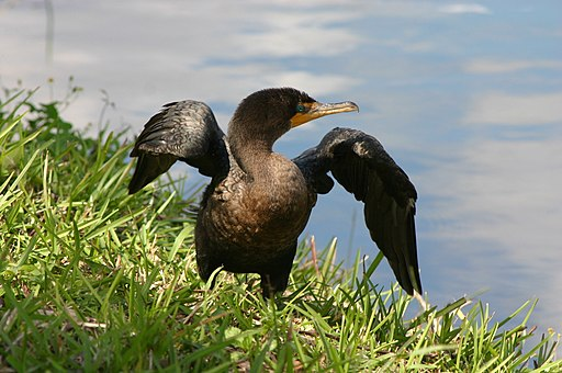 Double Crested Cormorant Spreading its Wings