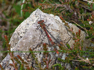 Isle of Lewis - Damselfly near Valtos, Uig