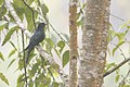 Drongo Cuckoo from East Pendam Budang birding area in Sikkim, India.jpg