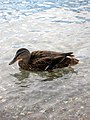 Duck, near Montreux.jpg