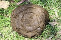 Dung of carabao Bohol.jpg