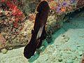 Dusky Batfish (Platax pinnatus) juvenile (6096753975).jpg