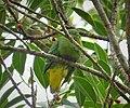 Dwarf Fruit Dove. Ptilinopus nainus (48694013797).jpg