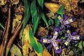 Dwarf crested iris flower.jpg