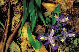 Iris cristata - Image: Dwarf crested iris flower