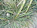 Dyckia remotiflora HRM2.JPG