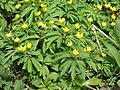 Dzeltenais vizbulis (Anemone ranunculoides L.) Vecdorvalka krastos, Dundagas pagasts, Dundagas novads, Latvia - panoramio.jpg