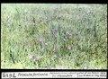 ETH-BIB-Primula farinosa, Seebach, Ochsenfurt bei Frauenfeld-Dia 247-07619.tif