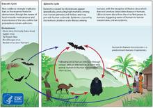 Chu kỳ cuộc sống của virus Ebola