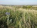 Echinops ritro (subsp. ruthenicus) sl32.jpg