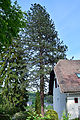 Eichgraben - Naturdenkmal PL-124 - Gelbkiefer (Pinus ponderosa).jpg