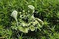 Eichhof 06.08.2017 Cladonia sp. (36518964373).jpg